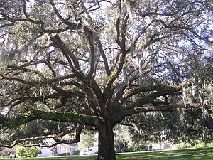 Southern Live Oak with Spanish moss hanging fr...