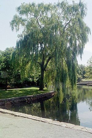 A magnificent mature Weeping Willow tree, take...