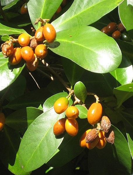 File:Corynocarpuslaevigatus012.jpg