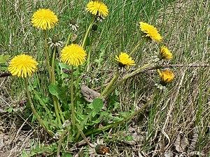 English: Dandelions in Kirkstall. Dandelions a...