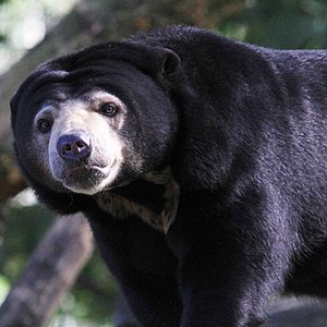 Malayan sun bear (aka honey bear) at Burgers Z...