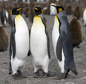 English: King Penguin (Aptenodytes patagonicus...