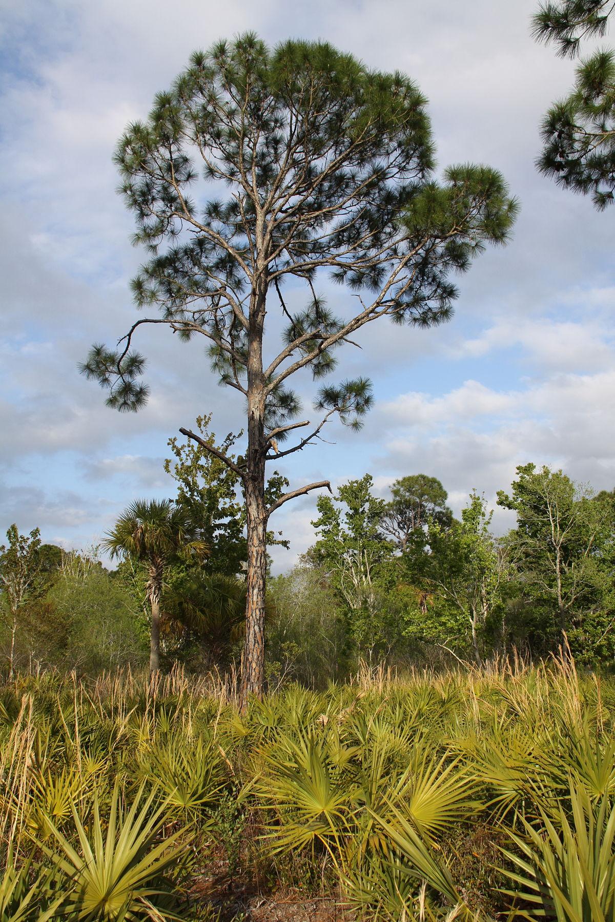 Pinus elliottii  Wikipedia