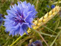 Cornflower - Wiktionary
