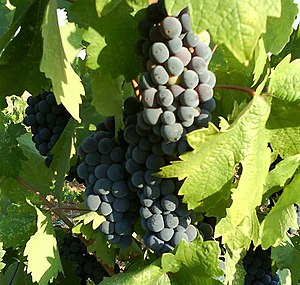 English: Zinfandel grapes ripening on a vine i...