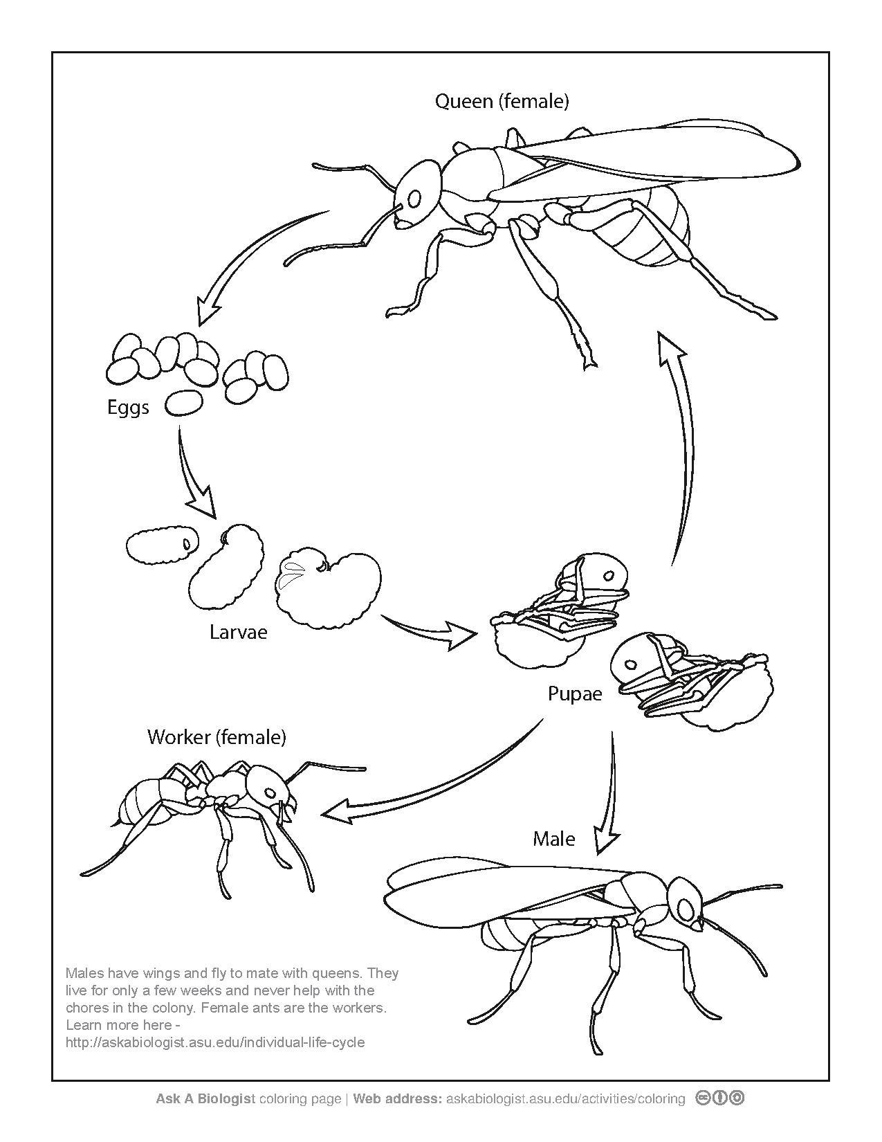 File ant life cycle coloring page pdf wikimedia mons rh mons wikimedia org ant life cycle of a n hor life cycle diagram