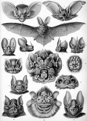 431Px-Haeckel Chiroptera