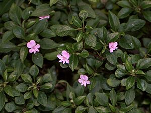 Flowers and Leaves of Impatiens pseudoviola Gilg.