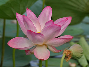 English: Indian lotus, sacred lotus or bean of...
