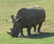 northern white rhinoceros wikipedia
