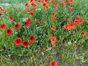 Poppies. Poppies growing on the bank of Barton...