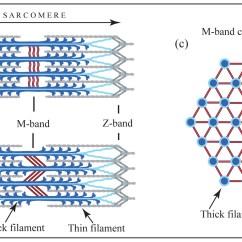 Sarcomere Diagram To Label 3 Way Lighting Circuit Wiring Myomesin Wikipedia