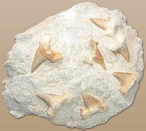 Fossile Haizähne Otodus obliquus