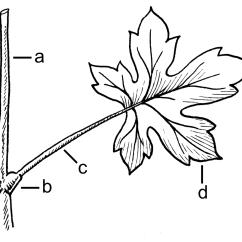 Fern Simple Diagram Bmw Audio Wiring E39 Nomófilo Wikipedia La Enciclopedia Libre