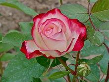 auguri rosa-buon onomastico rosa