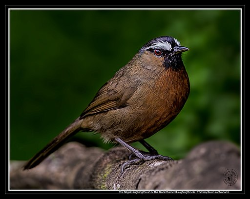 The Nilgiri Laughingthrush