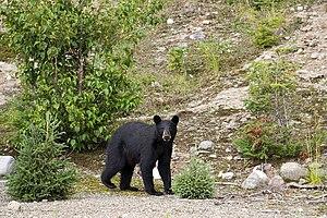 American Black Bear (Ursus americanus), Réserv...