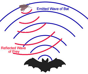 English: Echolocation for Bats