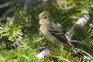 English: Yellow-bellied Flycatcher, Grands-Jar...