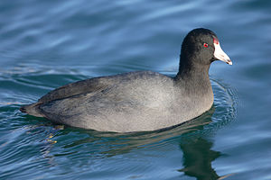 American Coot (Fulica americana) may be found ...