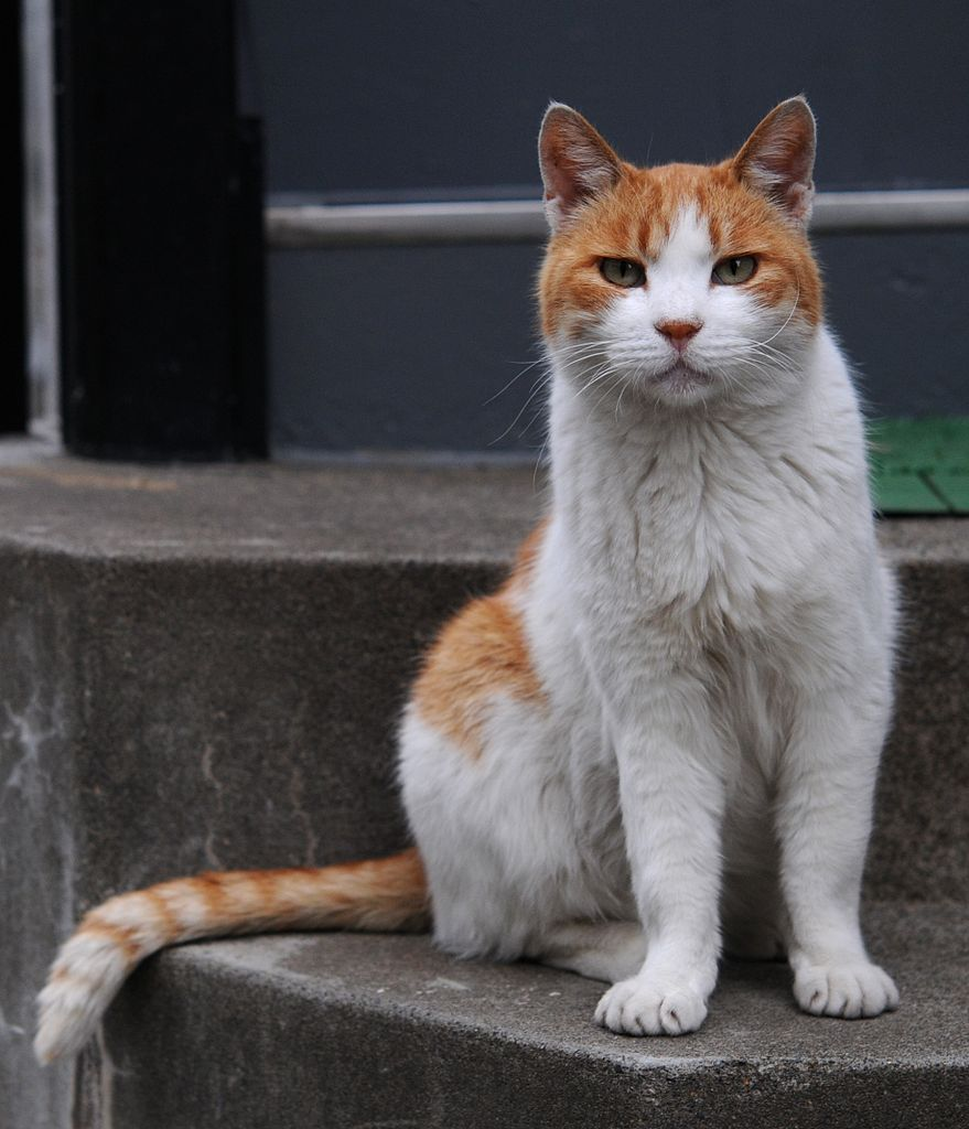 FileOrange and white tabby cat with the impressive tail