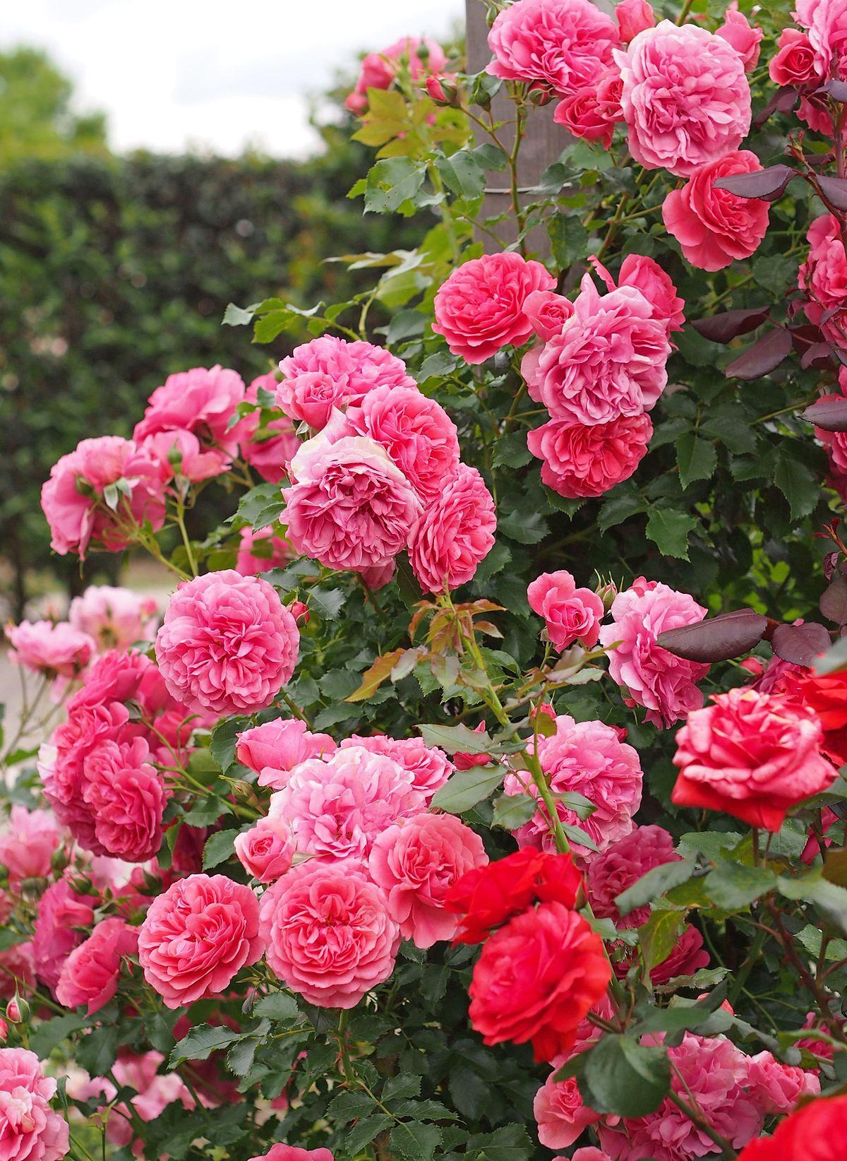 Roses By Wilhelm Kordes Iii Wikimedia Commons