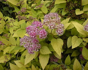 The leaves and flowers of Spiraea japonica, a ...