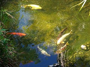 English: Koi fish in the pond at the Gibraltar...