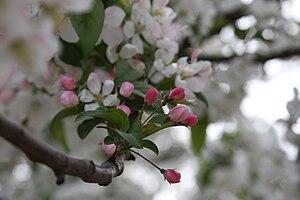 Cherry blossoms at Yuyuantan park.