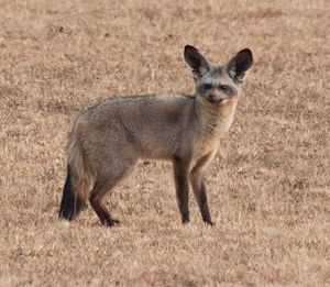 A bat-eared fox in Kenya.