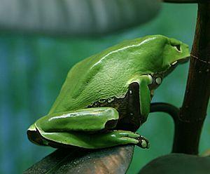 Phyllomedusa bicolor Giant Waxy Monkey Frog/gi...