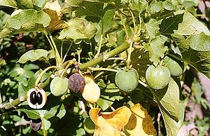 Seeds from the Jatropha curcas plant are used ...
