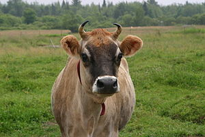 Close-up of a Jersey cow.