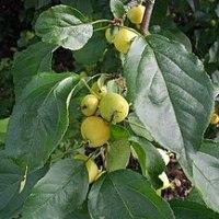 Pommes du Kazakhstan, d'Italie, Espagne, Liban, Malus baccata mandschurica, ...