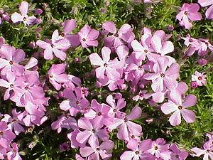 Species: Phlox diffusa Family: Polemoniaceae I...