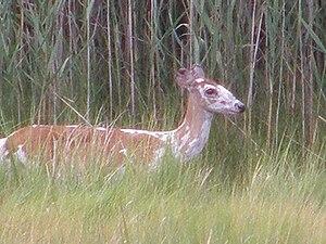 Piebald Deer. Image taken in Hampton Virginia
