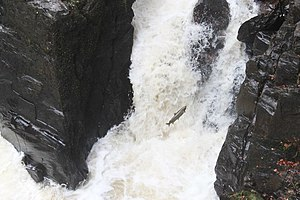 English: Salmon leaping Salmon leaping at the ...