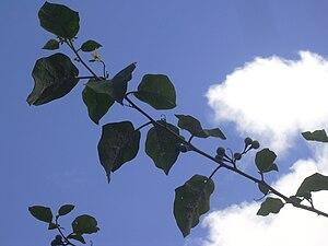 L'albero delle melanzane, Solanum torvum : )  (4/4)