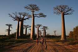 Walking the Avenue of the Baobabs