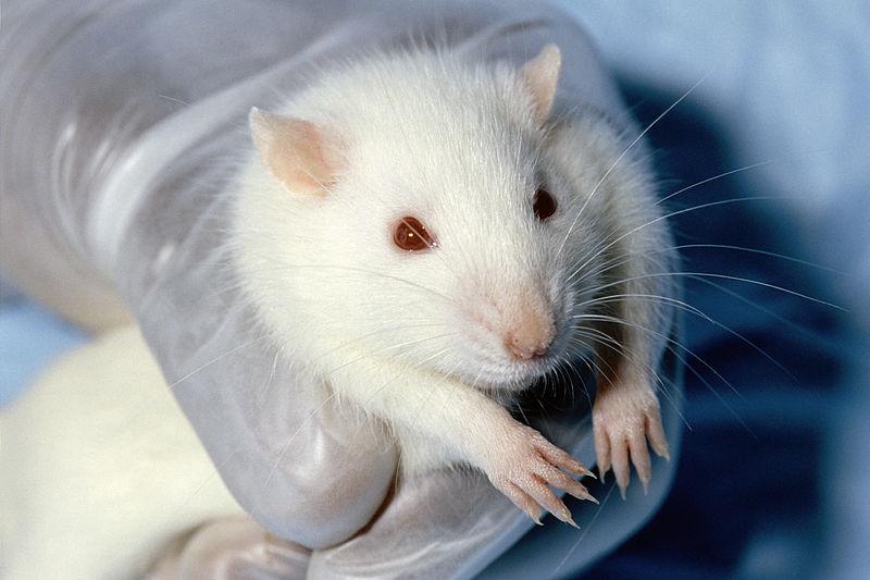 Archivo: Wistar rat.jpg