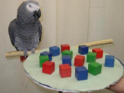 Alex the Parrot (Wikipedia picture)