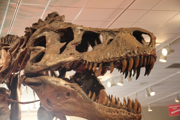 File Tyrannosaurus Skull Rochester Museum And Science