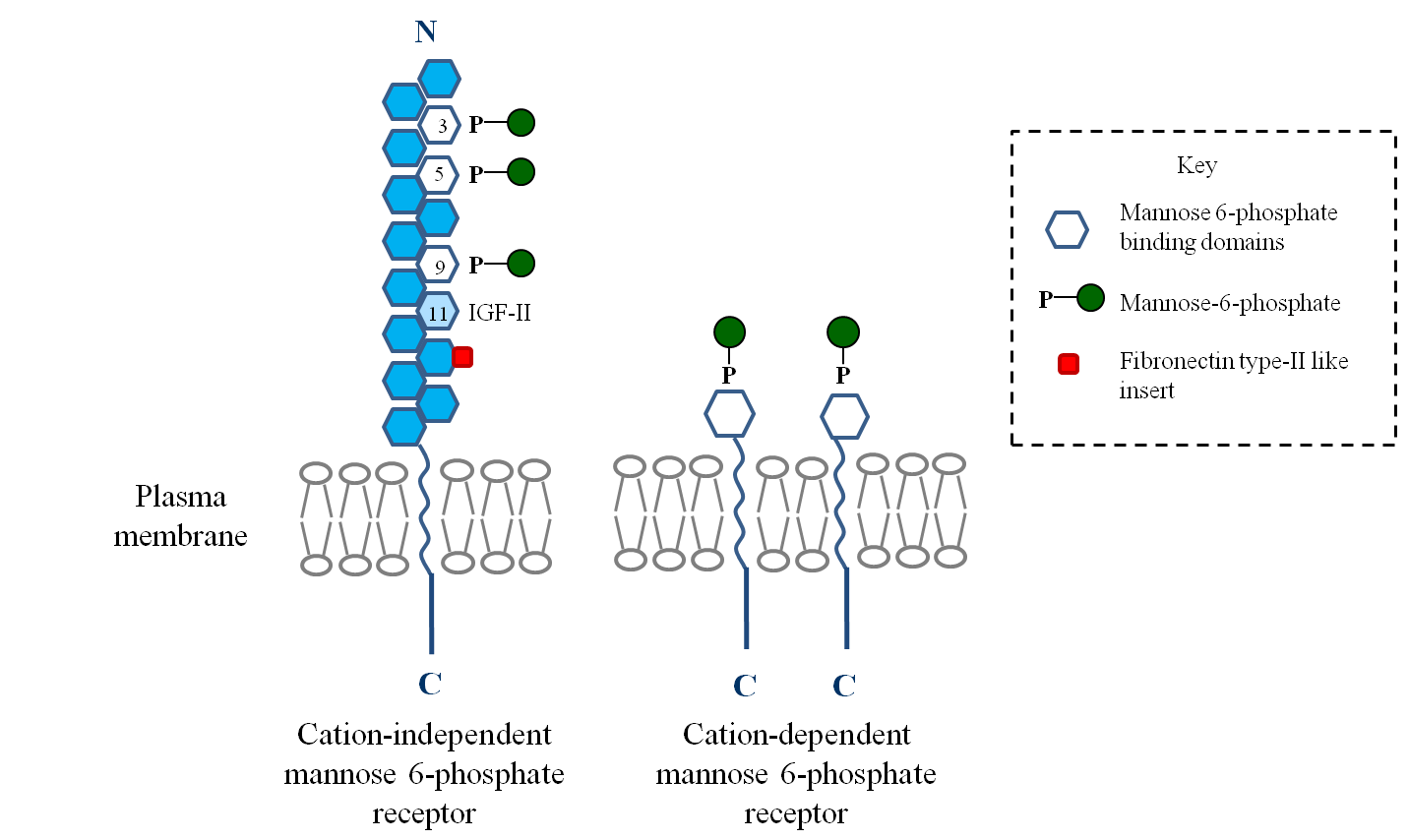File Overall Structure The Cation Independent And The