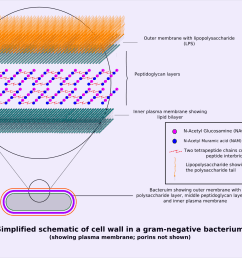 file gram negative cellwall schematic png [ 1482 x 1177 Pixel ]