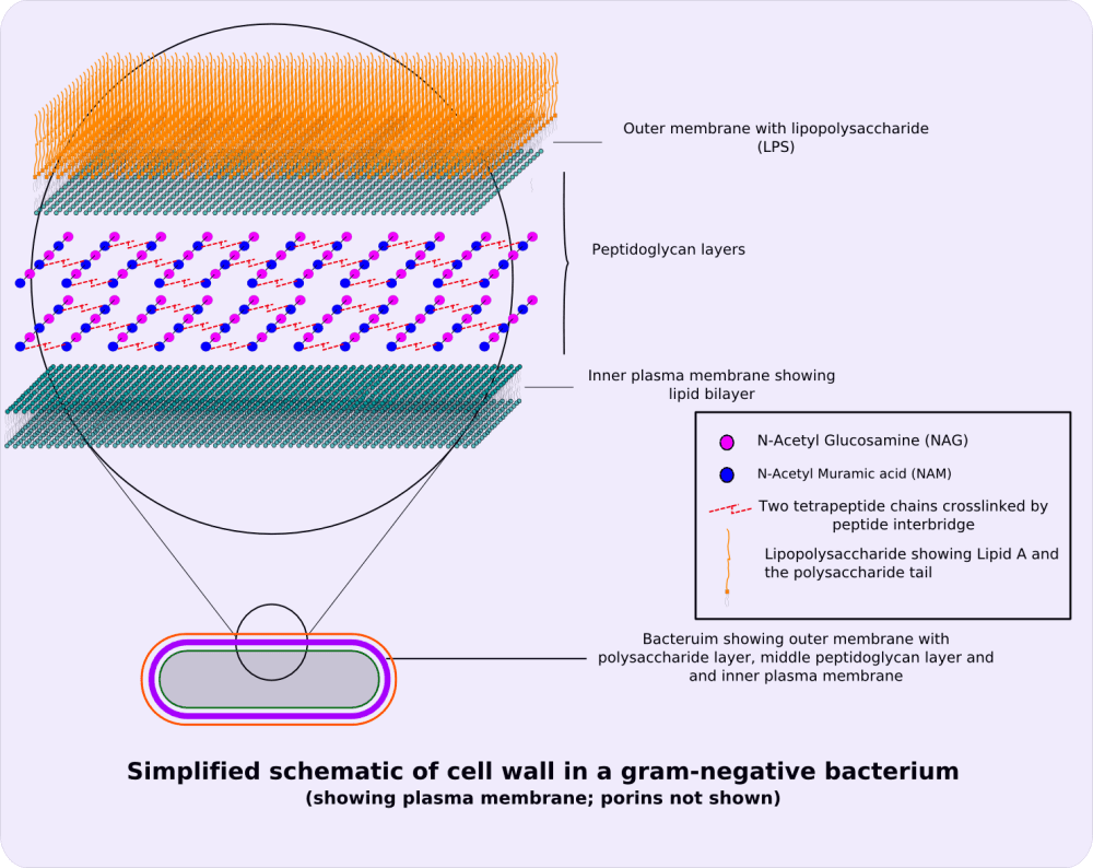 medium resolution of file gram negative cellwall schematic png