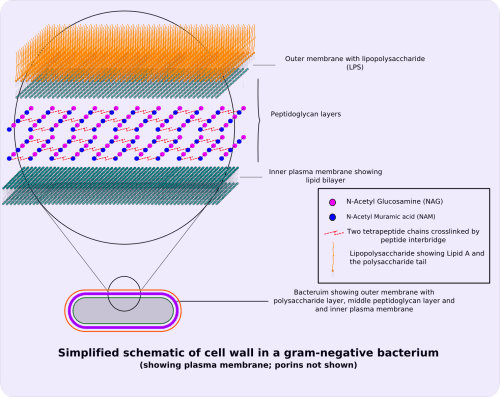 small resolution of file gram negative cellwall schematic png