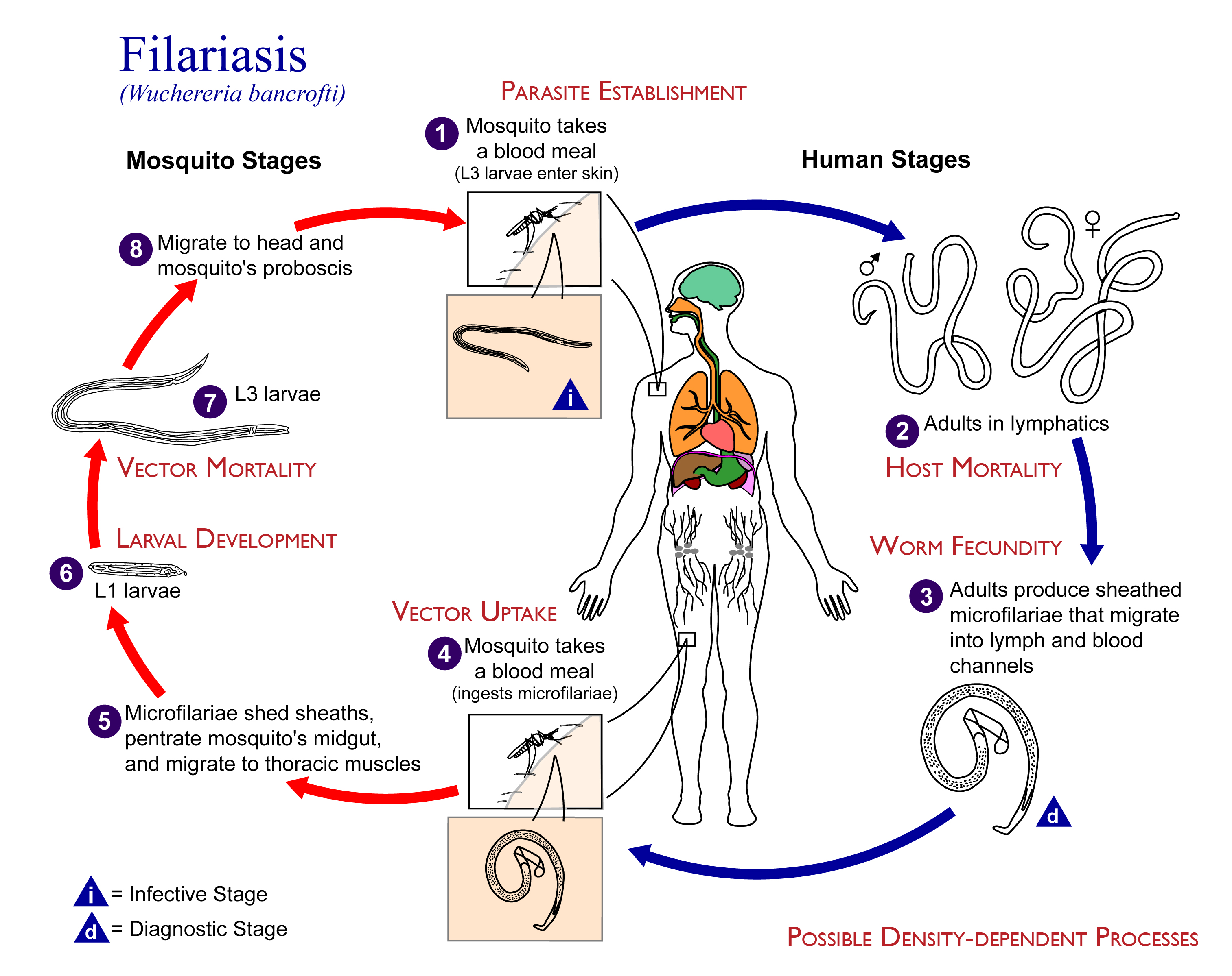 File Density Dependence In Filariasis