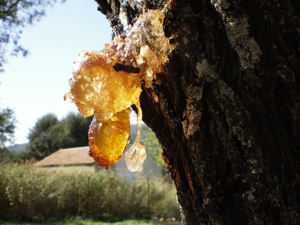 Resin From Pine Trees