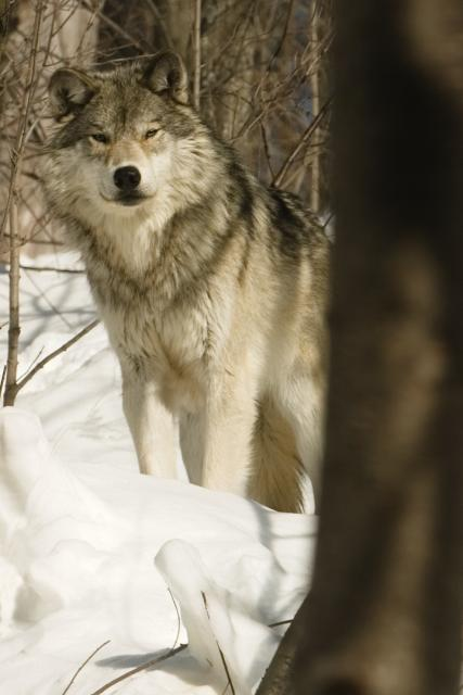 https://i0.wp.com/upload.wikimedia.org/wikipedia/en/a/a6/Winter_Wolf.jpg