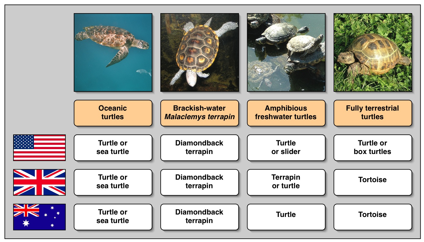 FileTurtle names in different languagesjpg  Wikipedia